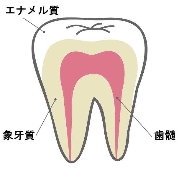 歯(エナメル質、象牙質、歯髄)